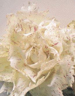 Cover Radicchio Bianco Nostrano di Bassano