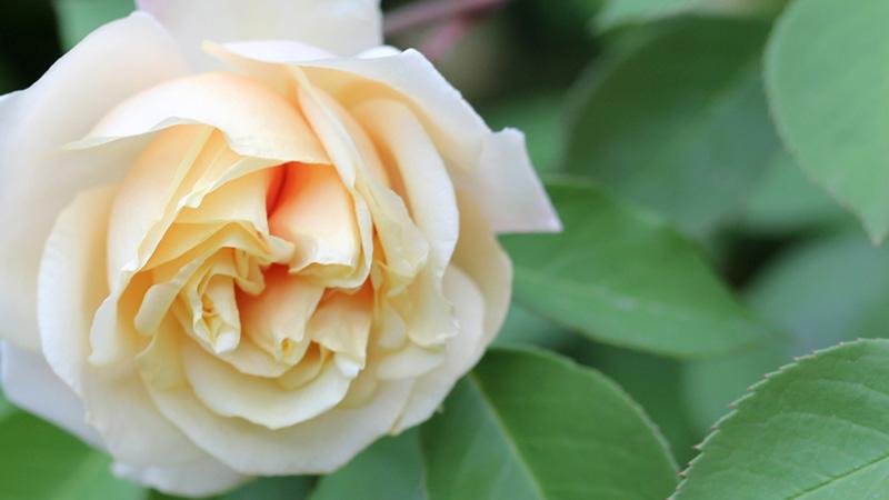 Cover Rose Rifiorentissime