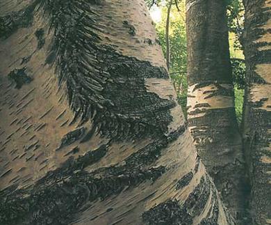 Cover Betulla dell'Etna di Vituddi