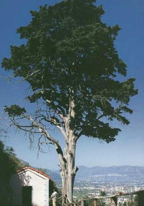 Cover Cipresso di San Benedetto