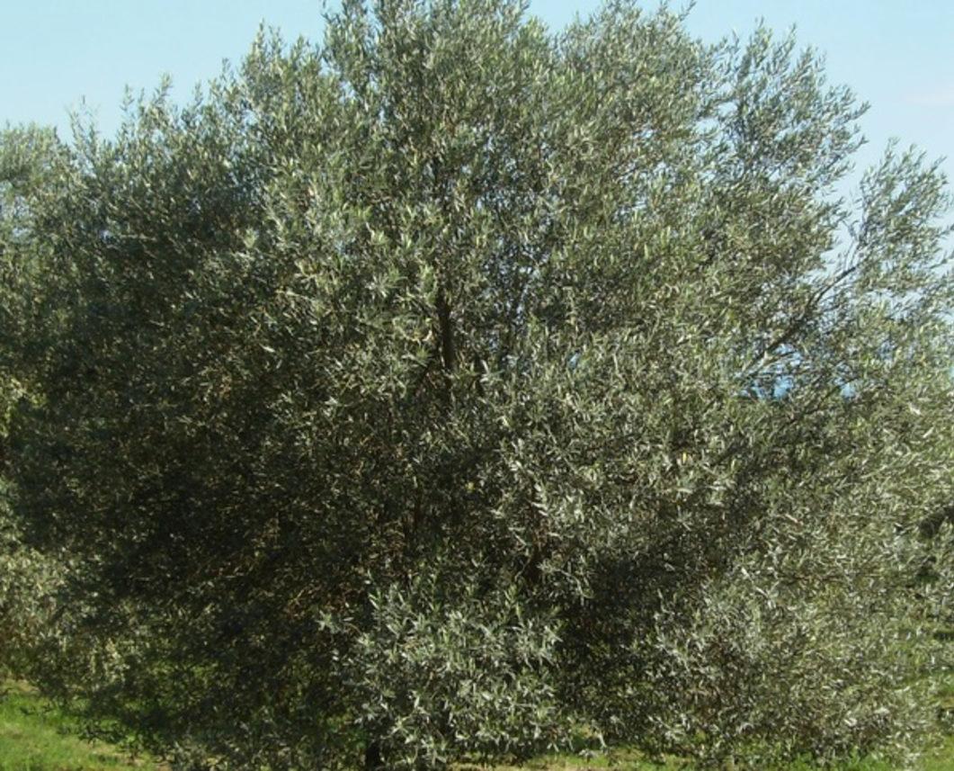Cover Olivo di Santa Venere
