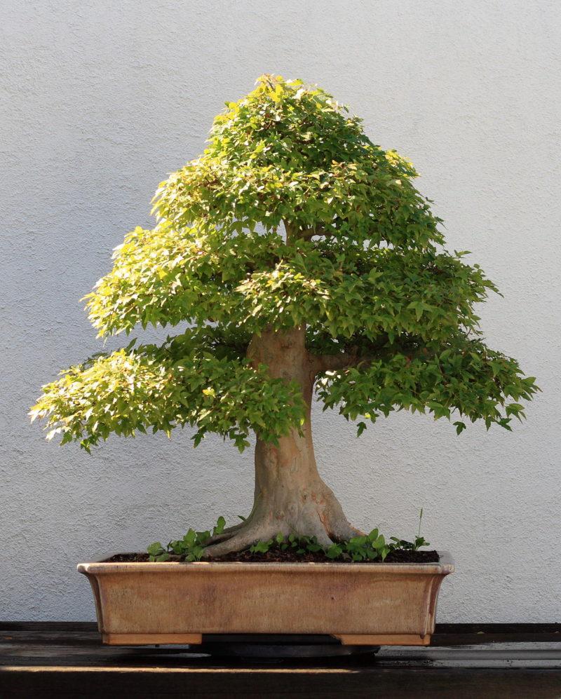 clinica del bonsai
