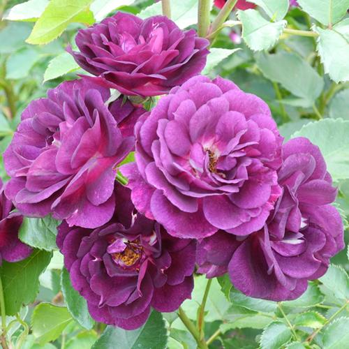 Cover Le Rose di Nicola Cavina
