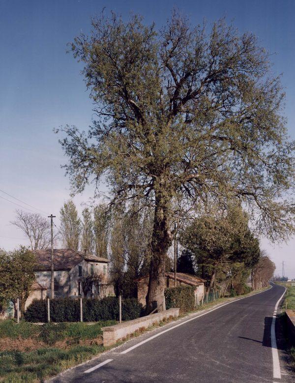 Cover Pioppo bianco di Ravenna