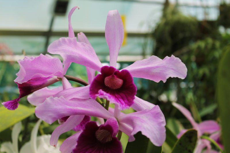 Cover Giulio Celandroni Orchidee
