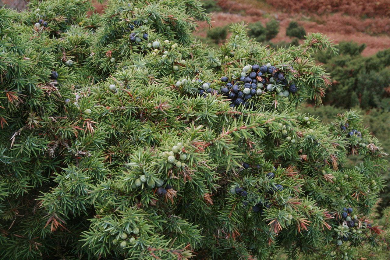 1280px-Juniperus_communis_Haweswater