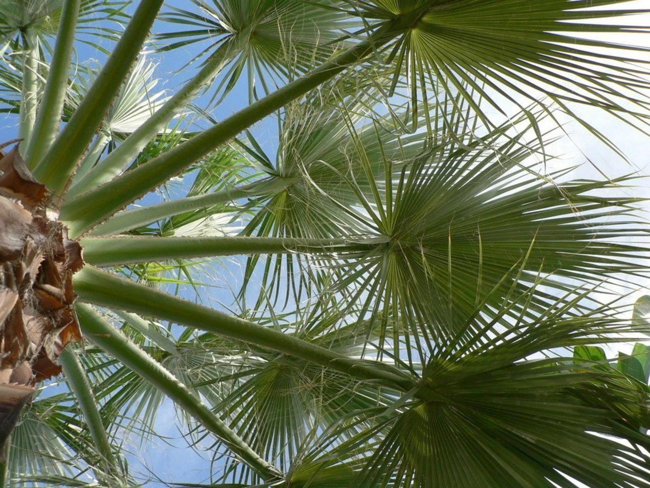 Palm_tree_leaves