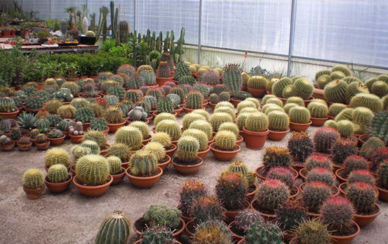 Cover Fiore di Cactus
