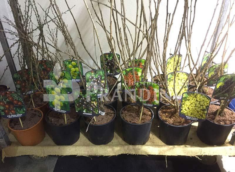 vendita-piante-frutti-salutistici