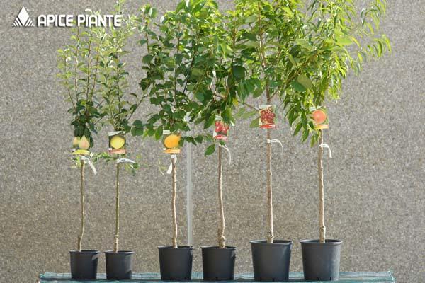 apice-piante-vasi