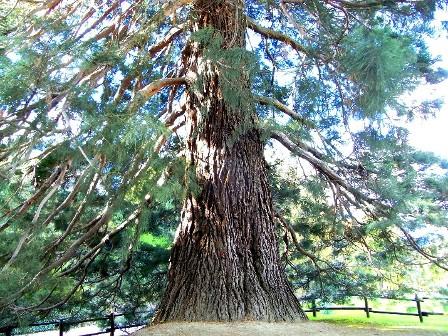 Cover Sequoia di  Chatillon