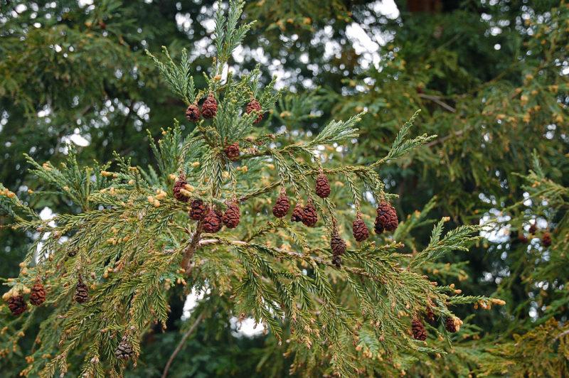Cover Sequoia del Pollone