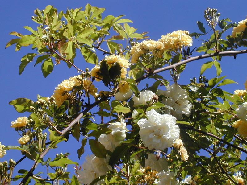 Cover Giardini Botanici Hanbury – Collezione di rose