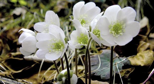 Cover Orto Botanico di Bergamo Lorenzo Rota – Collezione di viole e fiori del sottobosco
