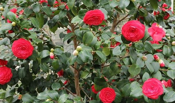caserta camellia