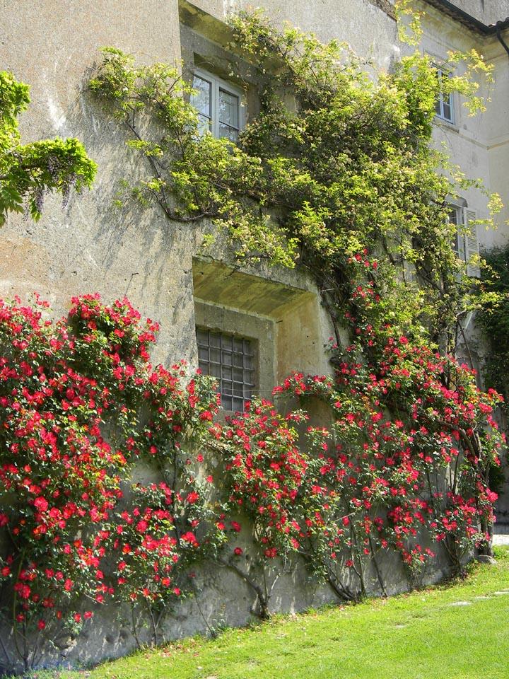 castel giuliano rose
