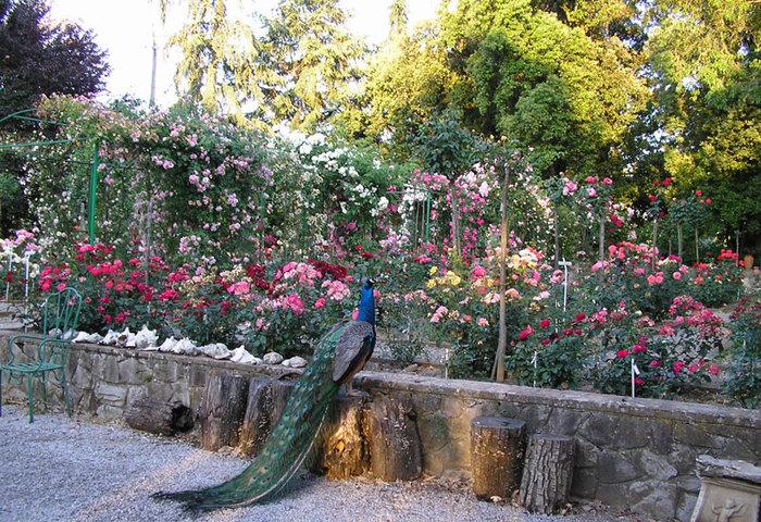 fineschi rose