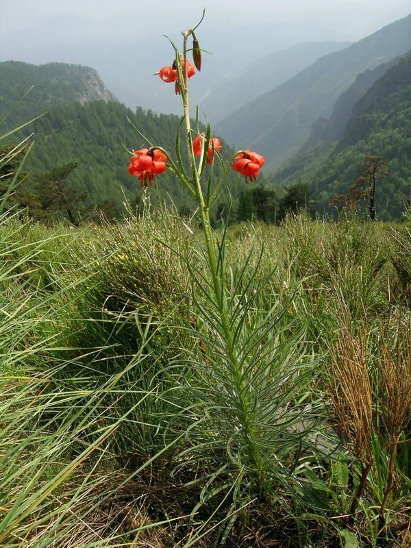 Cover Giardino botanico Pratorondanino – Collezione di Lilium