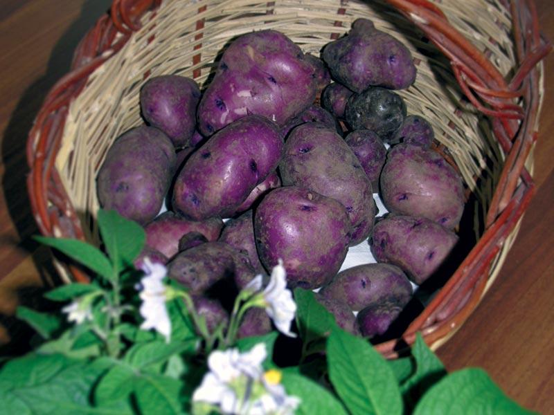 Cover La patata aquilana