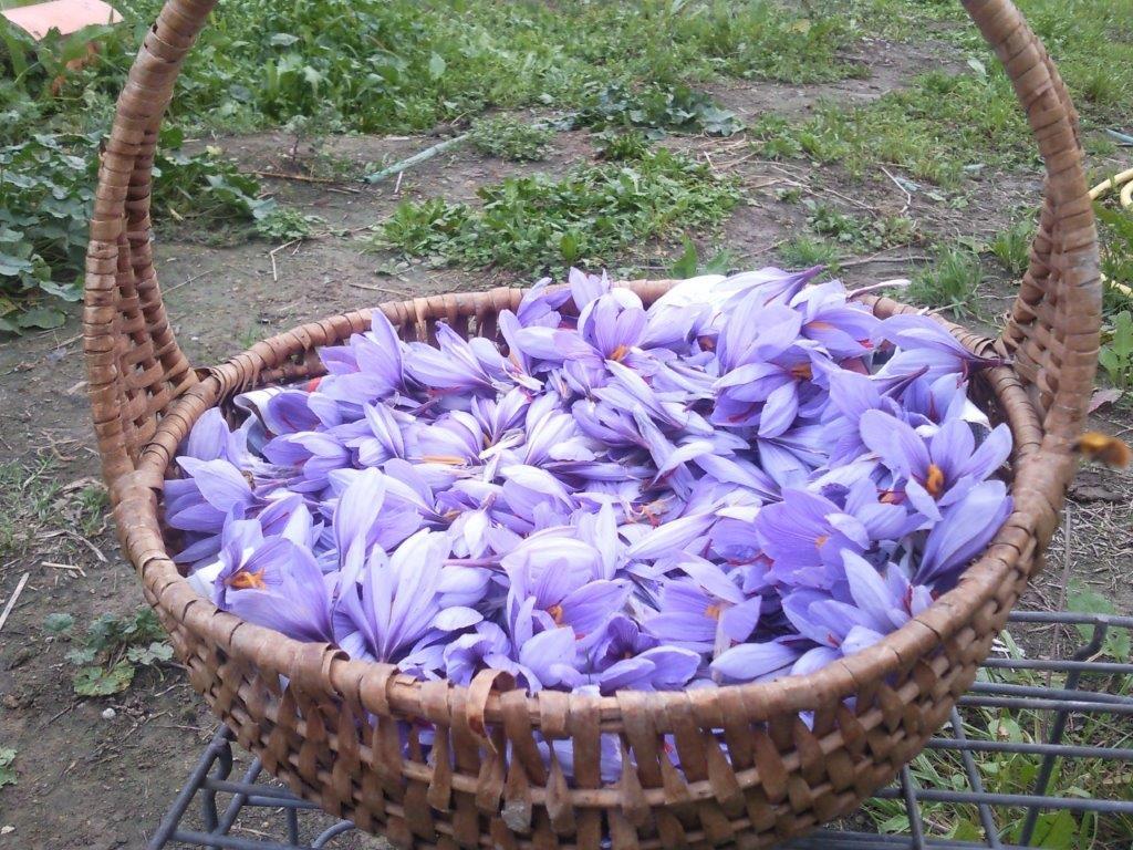 cesto-fiori-zafferano-2014-fattoria-La-Robinia