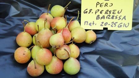 La pianta che ha prodotto questi frutti non sono riuscito a riprodurla perchè è morta subito dopo l-abbondante fruttificazione — presso Tra Baressa e Baradili.