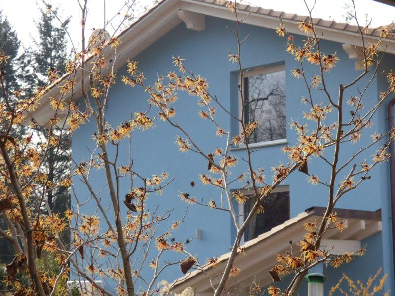 Cover Jay Blue House Garden e la collezione di Hamamelis