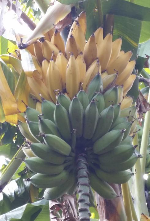 banane-casco-cooperativa-valle-dell-oreto-rubrica-agroinnovatori-gen-2020-fonte-cooperativa-valle-dell-oreto