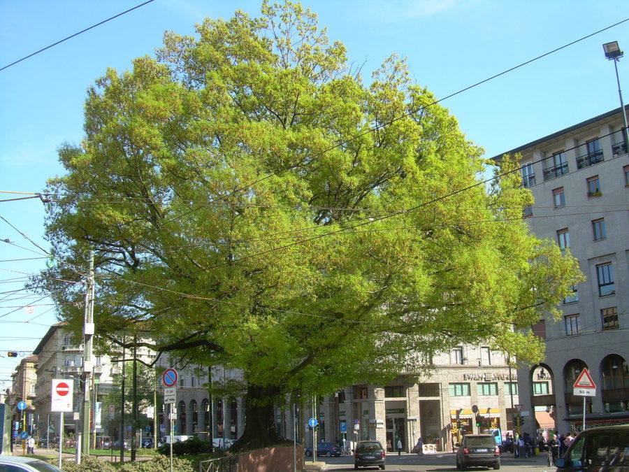 Cover La quercia di Piazza XXIV maggio