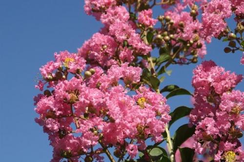 LAGERSTROEMIA-INDICA-ROSEA-GRASSI-big-7948-899