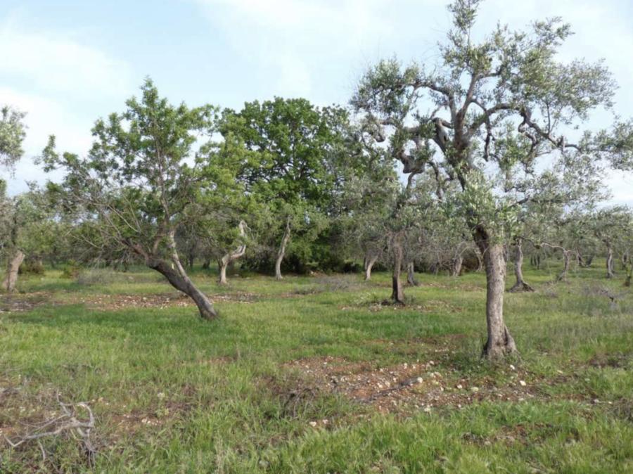 Cover Quercia virgiliana di Loseto vicino a lama baronale