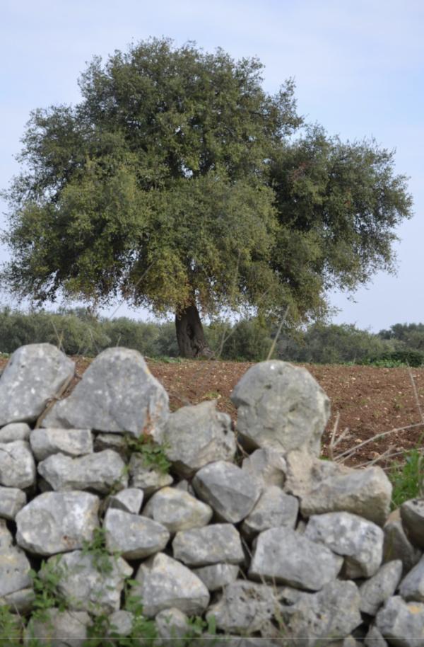 Cover Quercia di Palestina ad Acquaviva delle Fonti – Masseria La Rena
