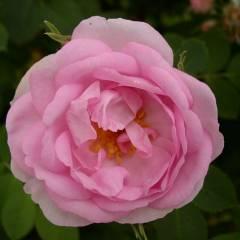 Cover Fior di Rosa