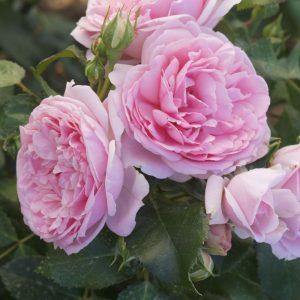 Cover Le Rose di Regina