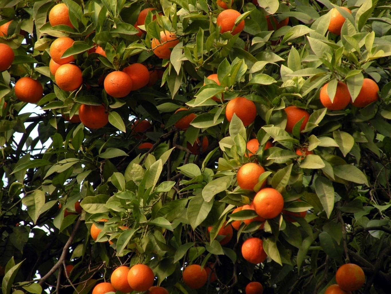 Cover Arancio del Gargano