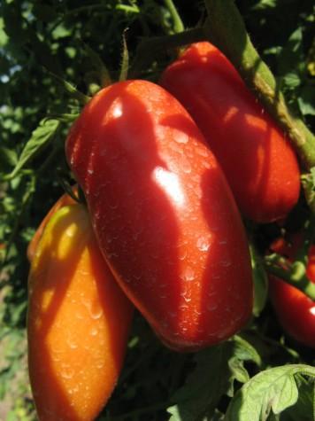 pomodori-sulla-pianta-356x475
