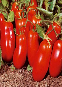 pomodoro-san-marzano-1-