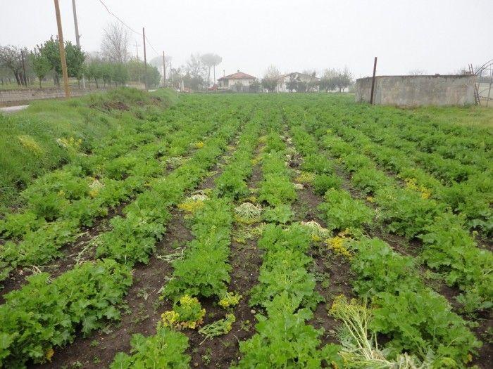 Cover Broccolo Aprilatico