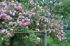 r-lijiang-rose-