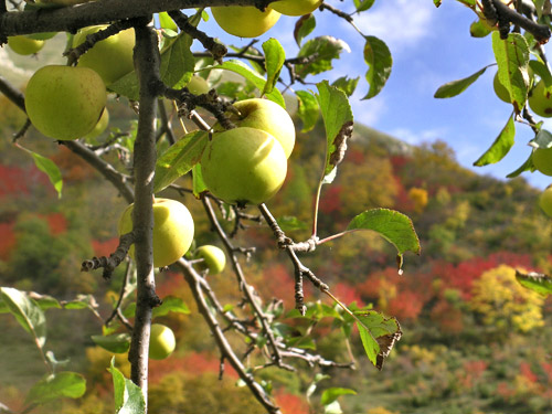 Cover Antiche varietà di mele piemontesi