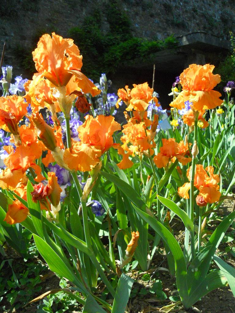 Giardino dell 39 iris luoghi italianbotanicaltrips - Giardino dell iris firenze ...