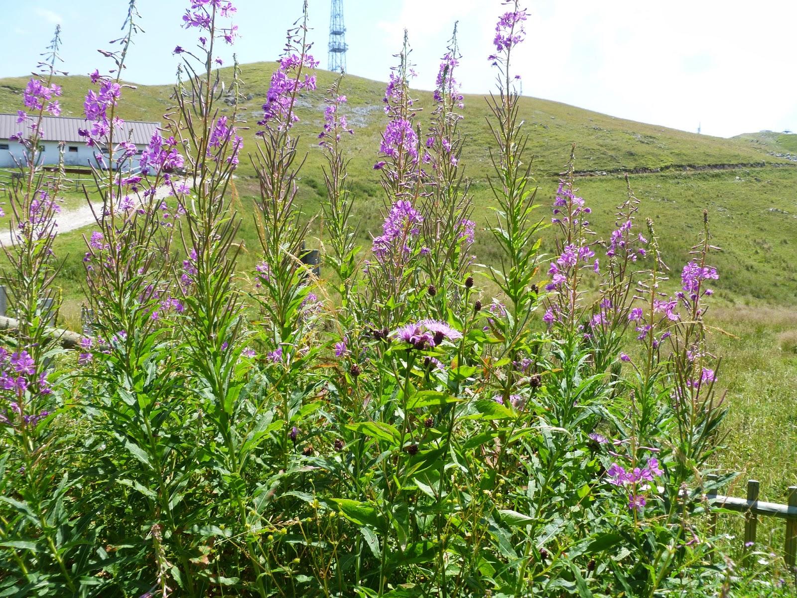 epilobium-angustifolium-giardino-botanico-alpino-delle-alpi-orientali-del-monte-faverghera-nevegal-vittorio-alberti