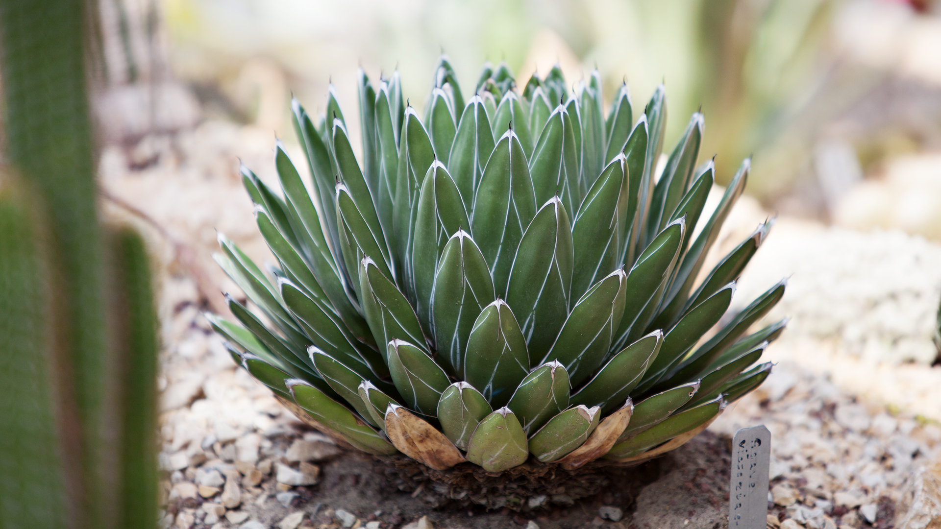 agave-vicearia-regina-1-