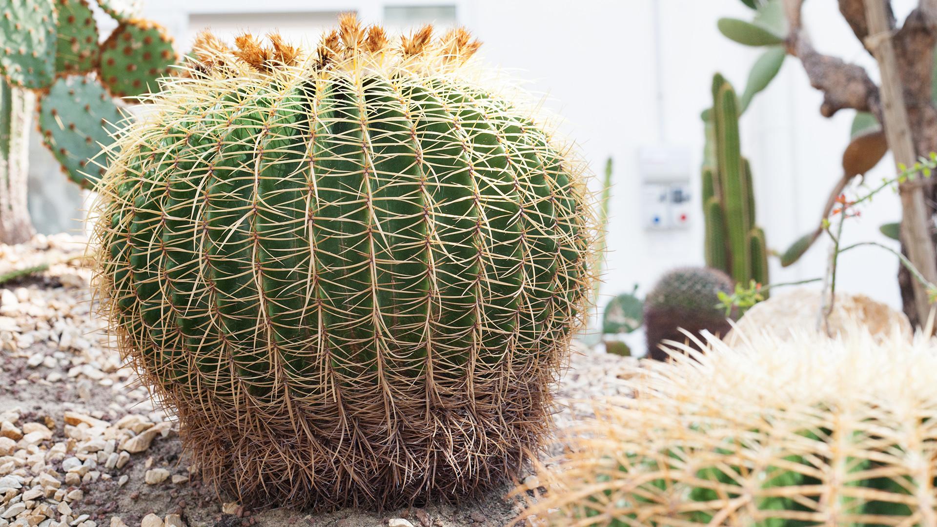echinocactus-grusonii-hildm-2-