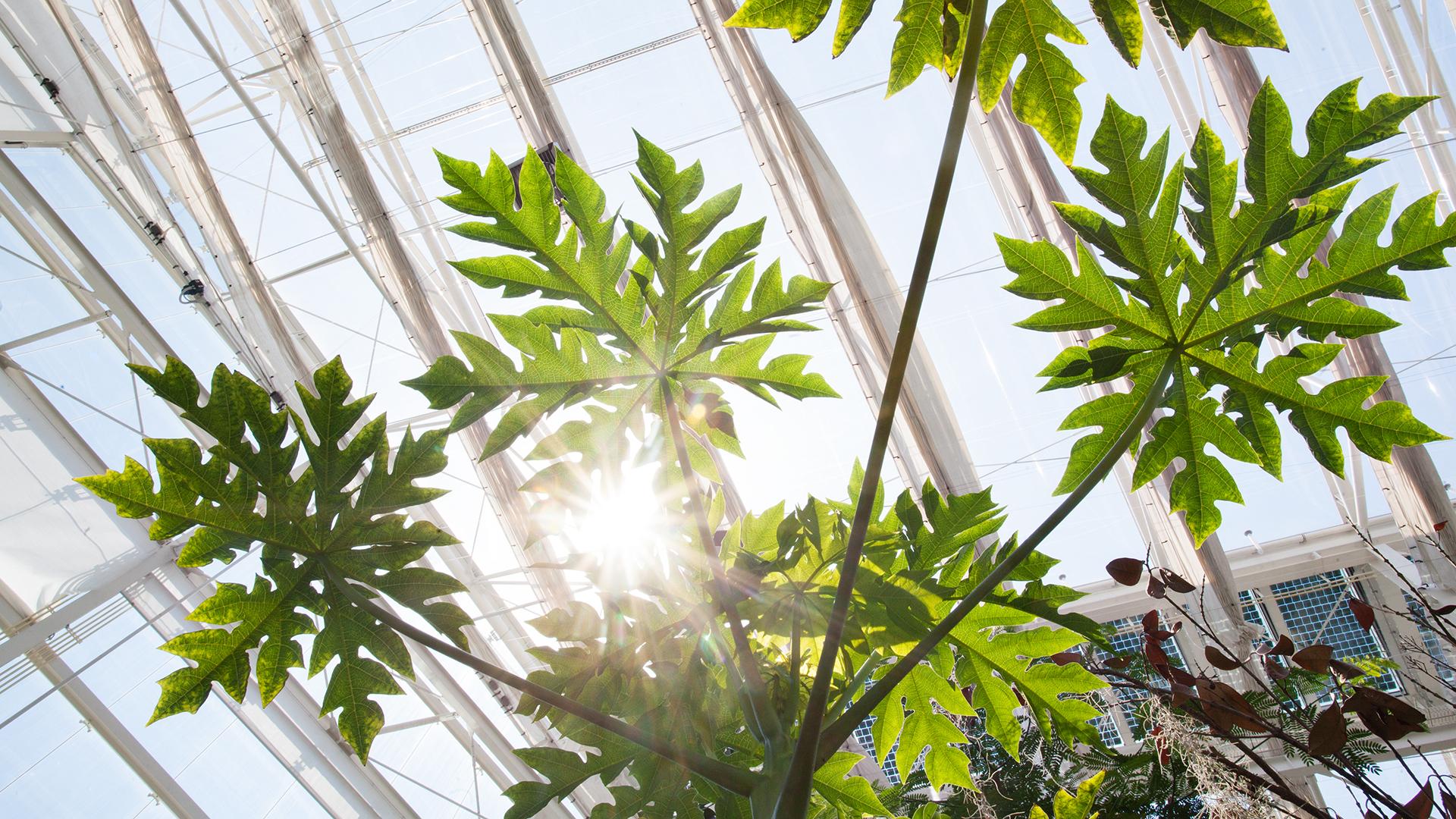 serra-tropicalecarica-papaya-1-