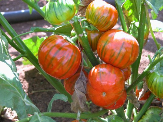 melanzana-pianta-due