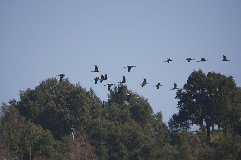 800px-volo-di-migratori-1-sul-lago-dell-angitola
