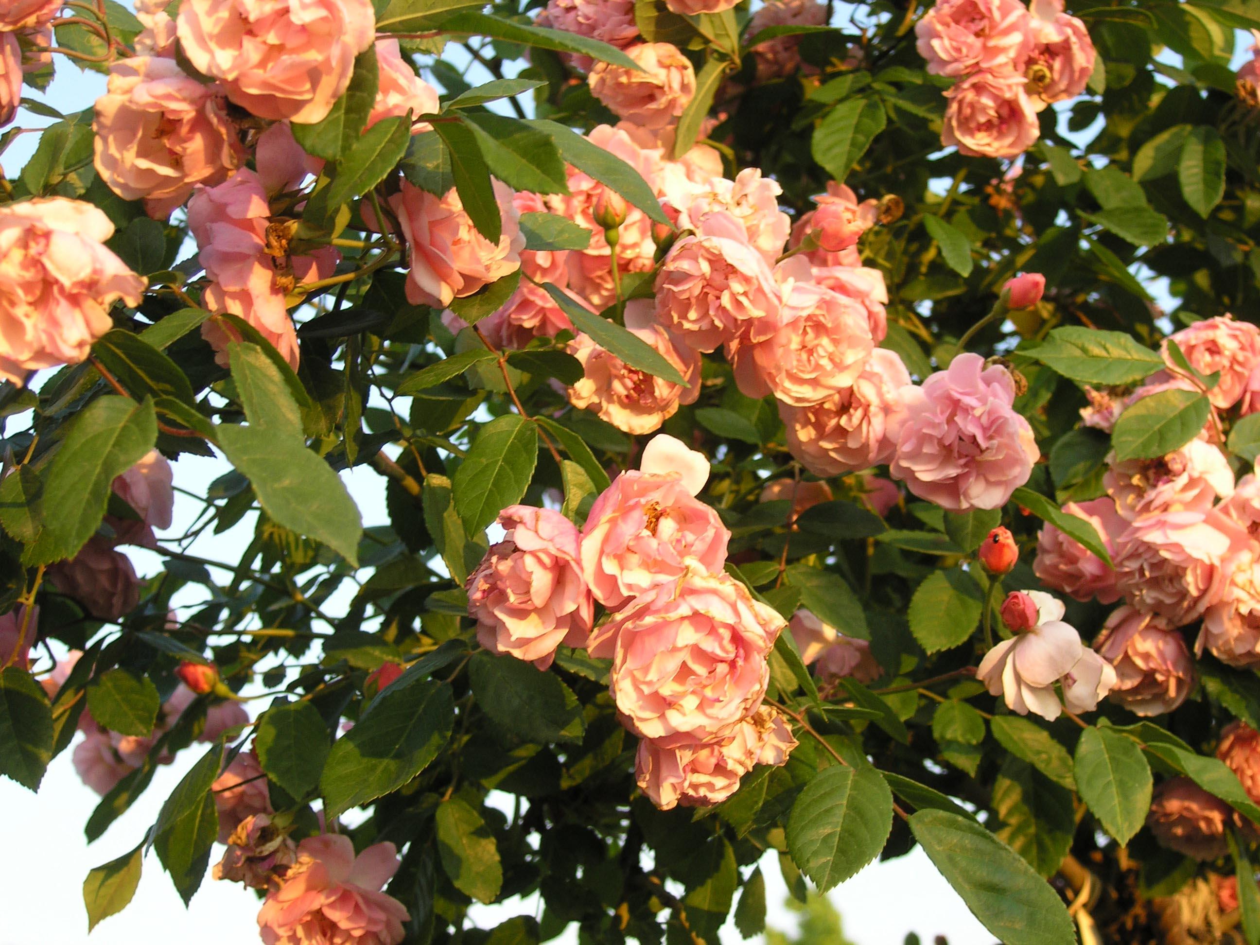 rosa-antica-cornelia-3371