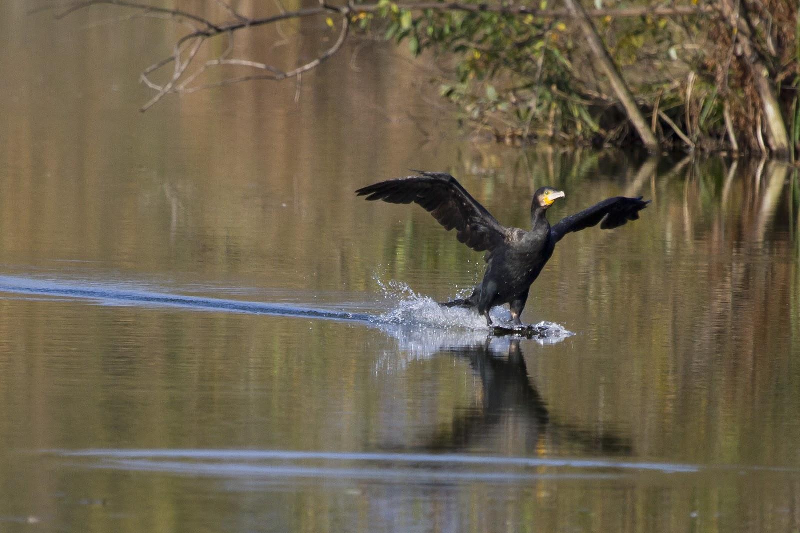 cormorano-palude-brabbia-23-10-12