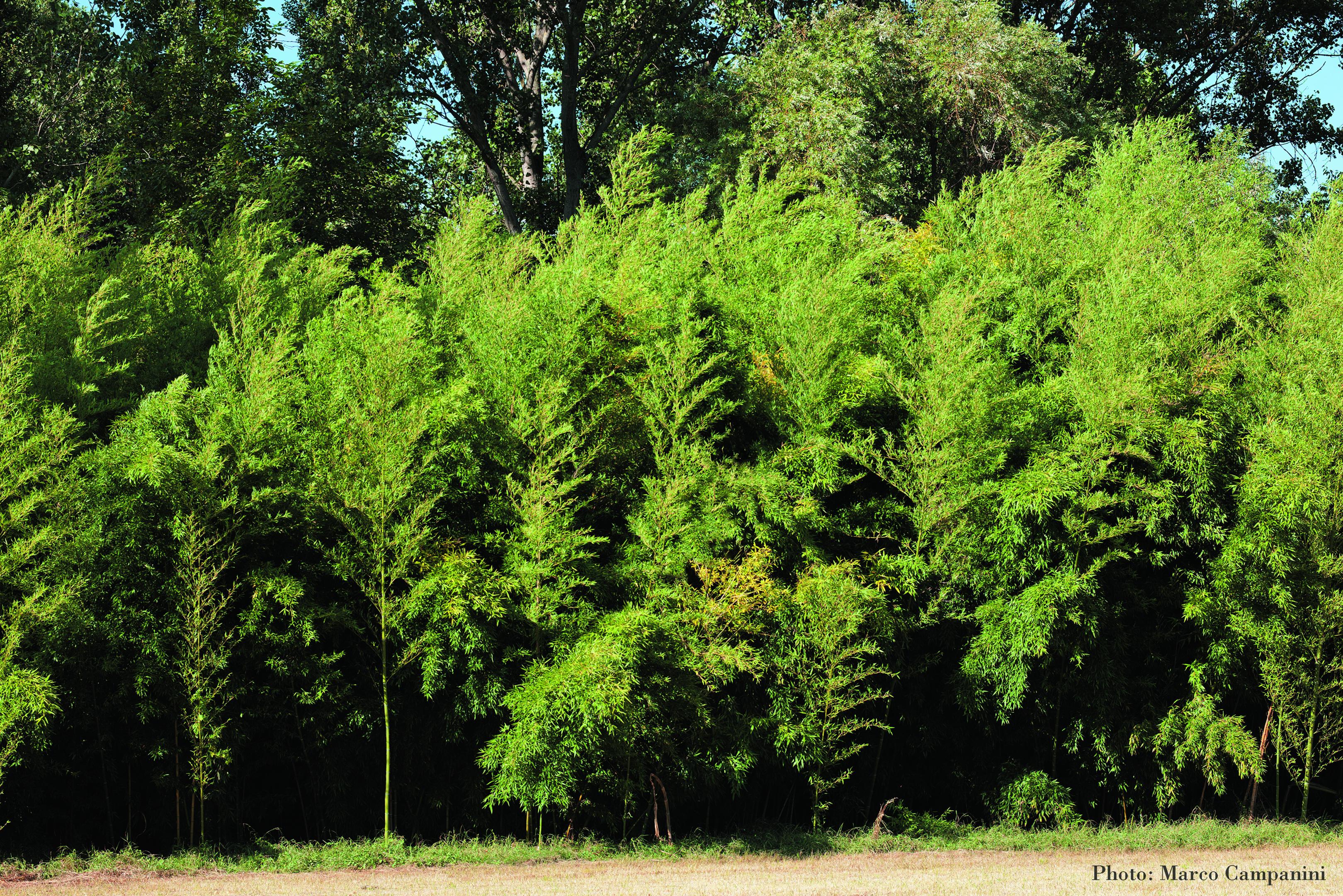 phyllostachys-aureamarco-campanini