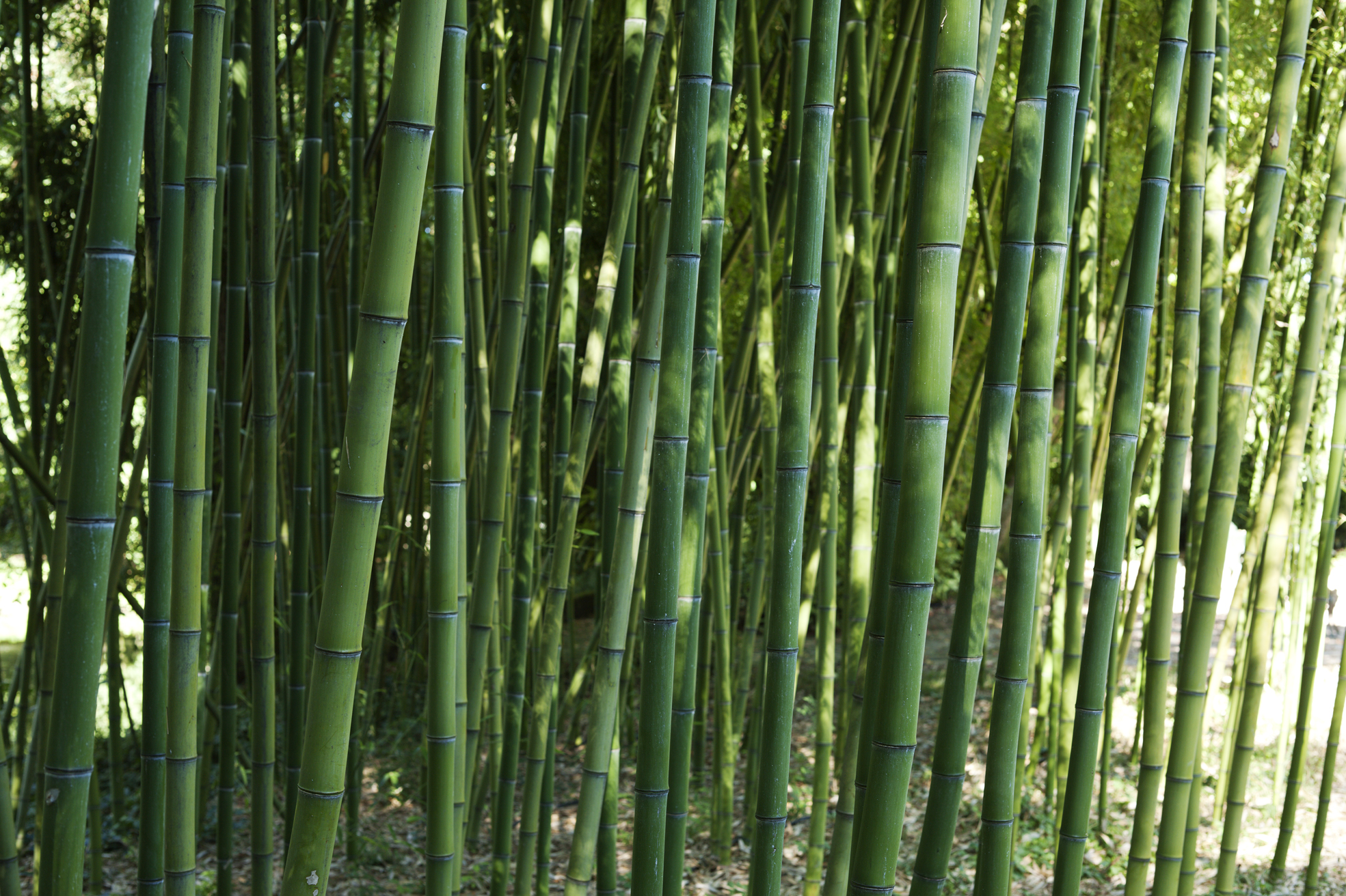 phyllostachys-glaucescens-foto-marco-campanini-